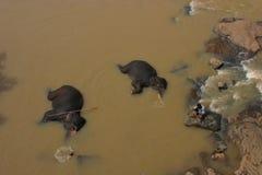 Elephants Sri Lanka. Elephants having their daily bath in Pinnawala Elephant Orphanage, Sri Lanka Stock Photos