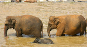 Elephants Sri Lanka. Two older elephants guiding a young one down the river Royalty Free Stock Photography