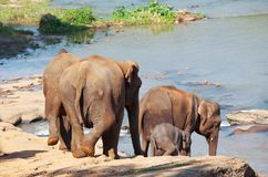 Elephants on Sri Lanka Royalty Free Stock Photography