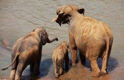 Elephants on Sri Lanka Stock Photo