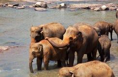 Elephants on Sri Lanka Royalty Free Stock Photos