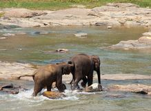 Elephants on Sri Lanka Stock Image