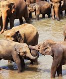 Elephants on Sri Lanka Stock Images