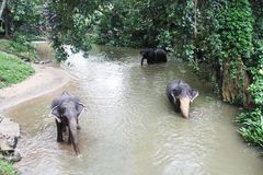 Elephants in Sri Lanka Royalty Free Stock Photography