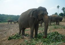 Elephants in Sri Lanka Stock Image