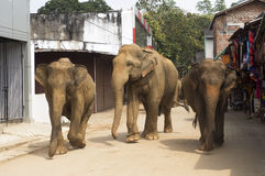 Elephants on the srtreet Stock Image
