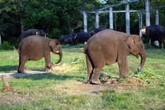 Elephants in a stable. Stock Photography