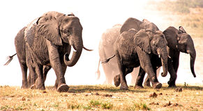 Elephants stampede in the dust. Four young elephants walk out of the dust cloud after pampering with dust-powder. Chobe National Park, Botswana, Southern Africa Stock Image