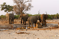 Elephants stand off with lions at a waterhole Stock Images
