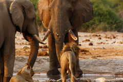 Elephants stand off with lions at a waterhole Stock Image