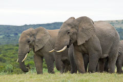 Elephants standing and eating Stock Photography