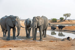 Elephants standing next to a waterhole with buffalo in the background Royalty Free Stock Photos