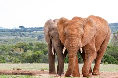 Elephants standing side by side. And staring at you Royalty Free Stock Images