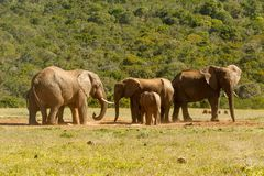 Elephants standing together drinking water Stock Image
