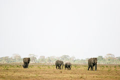 Elephants strolling Royalty Free Stock Photo