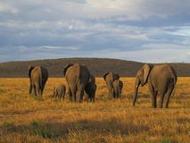 Elephants in sunset Royalty Free Stock Photos