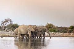 Elephants at sunset Stock Photography
