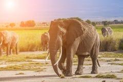 Elephants at sunset in Kenya. Safari Royalty Free Stock Photo