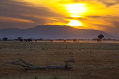 Elephants At Sunset Stock Photos