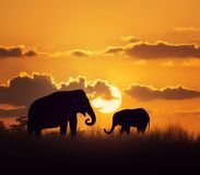 Elephants at sunset. Mother and Baby Elephants at sunset stock images