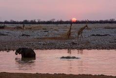 Elephants At Sunset Stock Photos