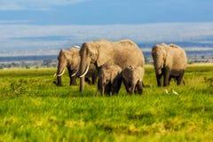 Elephants in the swamp Stock Photos