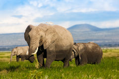 Elephants in the swamp Stock Photo