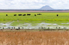 Elephants in Swamp Royalty Free Stock Images