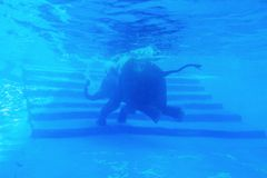 Elephants swiming. Elephants swim in the pool Royalty Free Stock Photography