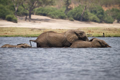 Elephants swimming Stock Photo