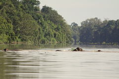 Elephants Swimming Across a River. Pygmy Elephants swim across the Kinabatangan River in Sabah, Malaysia Stock Photography