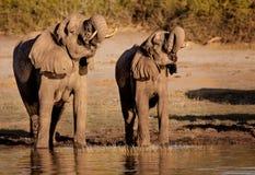 Elephants synchronised drinking Stock Images