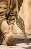 Elephants tail Royalty Free Stock Photos