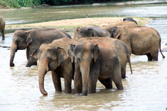 Elephants take a bath Royalty Free Stock Images