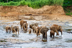 Elephants take a bath in the river Royalty Free Stock Photos