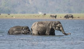 Elephants taking bath in backwater stock images