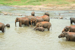 Elephants taking a bath Royalty Free Stock Image