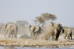 Elephants taking a dust bath. Loxodonta africana; Etosha royalty free stock photos