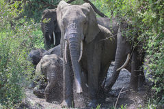 Elephants taking mud bath Royalty Free Stock Images