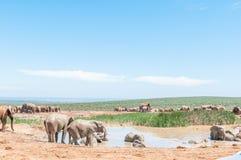 Elephants taking a mud bath Stock Photo