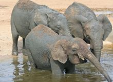 Elephants taking refreshment Royalty Free Stock Photo