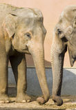 Elephants talking Royalty Free Stock Photo