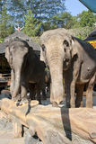 Elephants in Taman Safari Indonesia Royalty Free Stock Photography