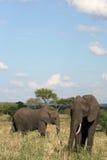 Elephants. Tanzania, Africa Stock Photography