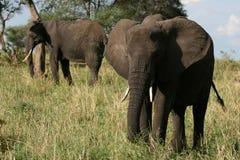 Elephants. Tanzania, Africa Royalty Free Stock Photo