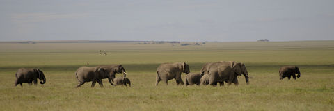 elephants - Tanzania - Park national serengeti Stock Images