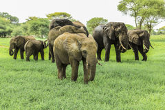 African elephants. A family of African elephants in Tarangire National Park Tanzania on green grass savanna Royalty Free Stock Image