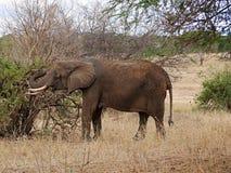 Elephants on Tarangiri-Ngorongoro Safaris in Africa. Elephants in Tarangiri-Ngorongoro Africa Safari, safari elephants, savanna, elephants in the natural Stock Photography