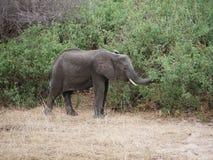 Elephants on Tarangiri-Ngorongoro Safaris in Africa. Elephants in Tarangiri-Ngorongoro Africa Safari, safari elephants, savanna, elephants in the natural Royalty Free Stock Photo
