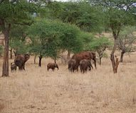 Elephants on Tarangiri-Ngorongoro Safaris in Africa. Elephants in Tarangiri-Ngorongoro Africa Safari, safari elephants, savanna, elephants in the natural Royalty Free Stock Photography